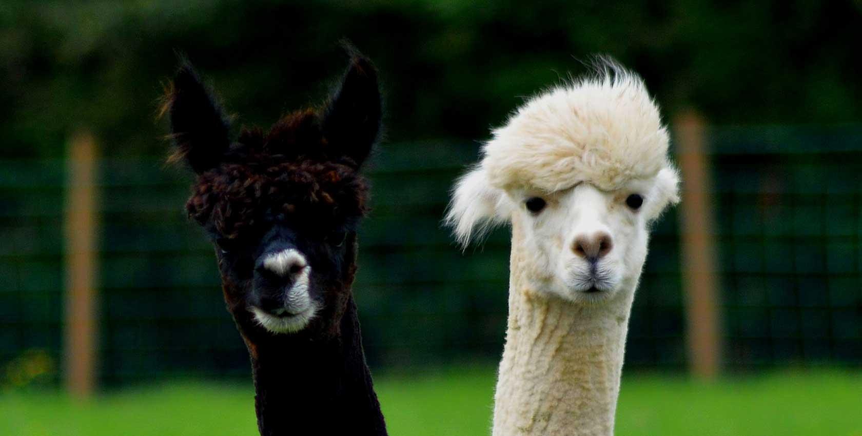 PopsFL Fashion in alpaca and baby alpaca